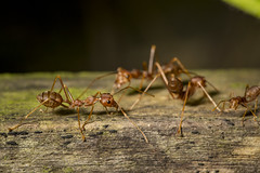Cony Island Red Ants (thecrapone) Tags: singapore cony island red ant ants wildlife nature