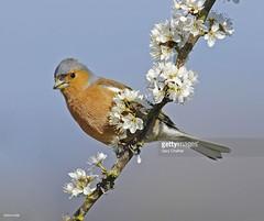 Chaffinch male (Gary Chalker, Thanks for over 2,000,000. views) Tags: chaffinch finch bird k5 pentax pentaxk5 pentaxfa600mmf4edif fa600mmf4edif