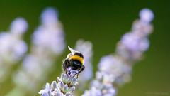 Never seem to get a lot (OR_U) Tags: 2017 oru macro closeup 169 widescreen bee bumblebee lavender flower blossom green hss sliderssunday supertramp breakfast