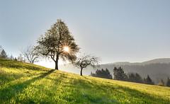 Black Forest sunrise - Himmelssteig (sigi-sunshine) Tags: schwarzwald sonnenaufgang blackforest sunrise sonne gegenlicht baum landschaft landscape outdoor wiese wandern hiking wanderweg wanderung badpeterstal griesbach freizeit genieserpfad germany badenwürttemberg