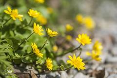 """Scharbockskraut"" Ficaria verna (anton_zach) Tags: macro makro blume pflanze scharbockskraut natur wiesenblume waldviertel"