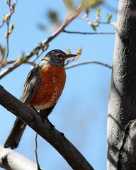 Robin in the cemetery (Parowan496) Tags: bird cemetery tree robin sping canonxsi oldcameraolderphotographer