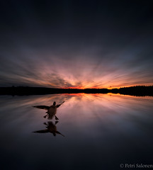 Attention (petrisalonen) Tags: landscape summer summertime spring springtime sunset sunrise landing bird lake reflection blue digital nature sunrays photoshop photoshopart happy national flying finland