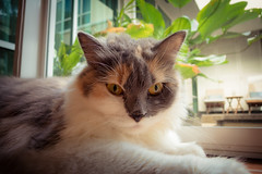 A somber looking Crunchy (stratman² (busy-taking care of Joey)) Tags: canonphotography powershots120 cats gato kitteh flickrelite mainecoon crunchythecat katzen kucing comel kittyschoice kittysuperstar chat neko catmoments cc100