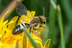 Off to the next... (TDotson) Tags: canon canon70d mpe mpe65 mpe65mm honeybee dandelion insect insectmacro macro macrolicious macrolife macronaut nature flowers spring honey pollen