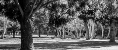 Deer in the park (randyherring) Tags: ca california saratoga monochrome santaclaracountyparks afternoon bw outdoor sanborncountypark blackandwhite park santacruzmountains unitedstates us