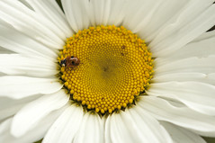 Seattle_Flower_Fibonacci_LabyBug (Zero State Reflex) Tags: seattle geometry flower fibonacci mathematics nature canon ladybug