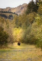 Bye Felicia- Kodiak (rishaisomphotography) Tags: kodiak brownbear grizzlybear sow female mammal apexpredator carnivore nature naturephotographer alaska fall wildlife wildlifephotography scenic outdoors