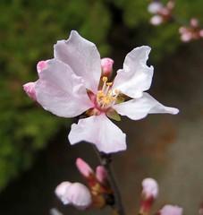 毛櫻桃 Cerasus tomentosa  [首爾正讀圖書館  Seoul, South Korea] (阿橋花譜 KHQ Flower Guide) Tags: cerasus 薔薇科 rosaceae