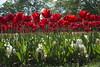 _DSC0722 (Riccardo Q.) Tags: parcosegurtàtulipani places parco altreparolechiave fiori tulipani segurtà