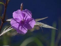 DSC00181 (familiapratta) Tags: sony dschx100v hx100v iso100 natureza flor flores nature flower flowers