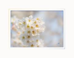 Lasst uns den Frühling genießen/Let us enjoy the spring (Simone Schloen ☞ www.bilderimkopf.de) Tags: frühling frühlingsblumen spring simoneschloen nahaufnahme hk rahmen ps closeup