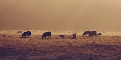 Morning Stands on Tiptoe. (elam2010) Tags: dawn sunrise mist misty sheep lambs shadow silhouettes dew spring landscape animal wirral countryside rural pastoral