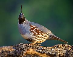 Gambel's Quail (Eric Gofreed) Tags: arizona gambelsquail mybackyard quail sedona villageofoakcreek yavapaicounty