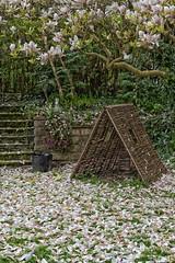 Magnolia Rain (jayneboo) Tags: 365 magnolia tree garden petals falling bunny playhouse odc artoflife nature