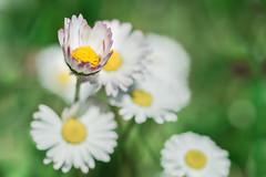 Petite pâquerette (Elie RIVIERE) Tags: calme douceur emotion fleurs nature nikond500 pâquerettes tranquilité