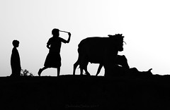 childhood play (mailmesanu20111) Tags: village cart girl cow cowgirl return home evening afterfeed childhood child animal silhouette play love bonding ruralvillage india indian canning blackandwhitephotography blackandwhite