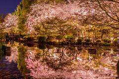 静謐 (tvsa) Tags: kyoto 桜 spring japan water 鏡 mirror 春 α7m2 sel55f18