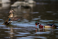 Look at Me (Mark S. Images) Tags: woodduck lehighvalley