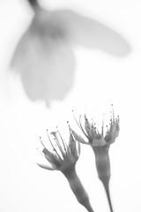 Cherryblossom abstract (PaulHoo) Tags: amsterdamse bos flower flora macro cherryblossom blossom dof bokeh 2017 spring nikon d700 detail light bw stem blackandwhite monochrome seed