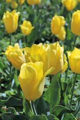 Sherwood Gardens ~ HBW! (karma (Karen)) Tags: baltimore maryland sherwoodgardens guilford flowers tulips dof bokeh hbw cmwd topf25