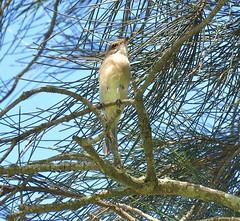 Pachycephala pectoralis 11 (barryaceae) Tags: green patch booderee national park jervis bay nsw australia ausbird ausbirds golden whistler pachycephala pectoralis