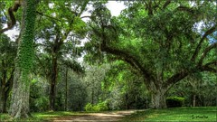 Southern Live Oaks at Longwood Mansion - Natchez, Mississippi (Suzanham) Tags: draping majestic trees liveoaks southern grounds longwood natchez mississippi yard hdr vegetation outside canonpowershotsx60hs path road landscape moss ivy spanishmoss