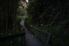 star (zhes61036103) Tags: 散景 森林 螢火蟲 木棧道 firefly 月光 道路