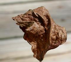 Wrinkled, dried leaf (Monceau) Tags: wrinkled leaf dried brown wrinkles odc