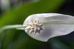 Flower (Daniel Escudero de Félix) Tags: flower flor flores garden macro macrofotografía macrophotography extensiontubes meike eos50d 50mm