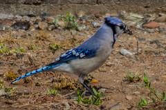 WL-0424 (peterslugphotography__) Tags: blue jay cyanocitta cristata