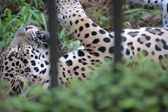 Zoo - Jaguar 3 (ptitmaxguyane) Tags: jaguar zoo bagne iles du salut capucin singe oiseau marais de kaw prison héron cocoï martin pecheur amerique sud buse hurubus hoazin huppé cabiaie