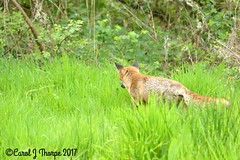 Red Fox (CJT29) Tags: redfox vulpesvulpes mammal carnivore animal hampshire cjt29 titchfieldhaven