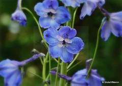Flowering world of the Delphinium / Bloeiende wereld van de delphinium (ShotsOfMarion) Tags: shotsofmarion shots2remember flickr nikon delphinium bloemen fiori flowers bloemenfotografie flowerphotography