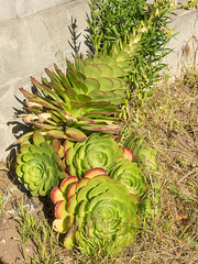 Saucer plant (melastmohican) Tags: vegetation flat foliage sempervivum leaf aeonium vibrant mass crassulaceae outdoor fleshy bertelothianum decorative vivid garden leaves plant nature evergreen flora bright saucer succulent ornamental hairy complanatum tabuliforme rosette green flattopped sanfrancisco california unitedstates us