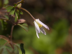 ヒメウズ (nofrills) Tags: flora floral plant plants weed weeds green white whiteflowers whiteflower whiteandgreen tiny ヒメウズ flower flowers