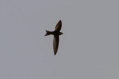 White-rumped Swift, Bornmansdrift, Clocolan, Freestate, Dec 2017 (roelofvdb) Tags: 2016 415 clocolan date december dwesa16 place southernafricanbirds swift swiftwhiterumped whiterumpedswift year