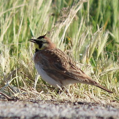 horned lark (jessica wilson {jek in the box}) Tags: apr17 2017 carrizoplain californiavalley birdie birding hornedlark