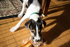 Puppy Dooley, 12 weeks old (marylea) Tags: apr1 2017 dog puppy parsonrussell parsonrussellterrier jackrussellterrier jackrussell terrier sunny dooley 12weeksold