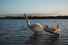 Early Risers (daniel.gaffey) Tags: lake bird water waterfowl sunrise swan stretch early morning british spring uk fujifilm xt1 35mm f2 film simulation kodak elite colour staffordshire chasewater