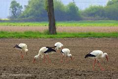 invation of the storks (photos4dreams) Tags: gersprenz14042017p4d gersprenz münster hessen germany naturschutz nabu naturschutzgebiet photos4dreams p4d photos4dreamz nature stork storch