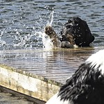 Water is fun, for a Landseer thumbnail