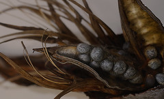Agapanthus seeds (judith511) Tags: macromonday seeds agapanthus seedpod