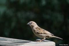 House Sparrow (Female) (Anne Ahearne) Tags: sparrow bird birds nature wildlife animal housesparrow