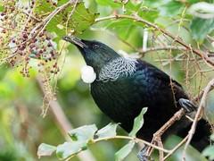 Tui feeding on Wineberry (digitaltrails) Tags: prosthemaderanovaeseelandiae tui zealandia