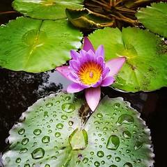 #flordeloto #lotus (arboldemanzanas) Tags: instagramapp square squareformat iphoneography uploaded:by=instagram lofi
