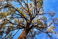 Ironbark (holly hop) Tags: tmt tree eucalyptus ironbark forest australia centralvictoria nature outdoors bush myplace 100xthe2017edition