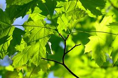 1PRO_5286 (Radu Pavel) Tags: green grün verde spring frühling primavera nature natur naturaleza hojas leaves bläter ast branch rama licht light luz radu radupavel pavel ©radupavelallerechtevorbehalten ©radupavelallrightsreserved ©radupaveltodoslosderechosreservados árbol baum tree