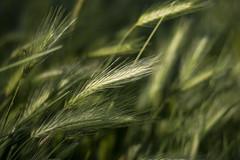 Pure Grain (sokolskij) Tags: primavera printemps spring frühling 春 봄 春季 весна 散景 ボケ 보케 ローマ 罗马 рим 로마 rzym canon canon50mmstm 50mm 50mmstm 50 400d rebelxti eos canoneos400d