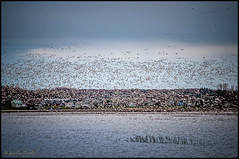 Oies des Neiges / Snow geese (Jeanluc Verville) Tags: oiesblanches snowgeese
